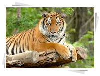 India Wildlife tours, tiger, bengal tiger, tiger reserves